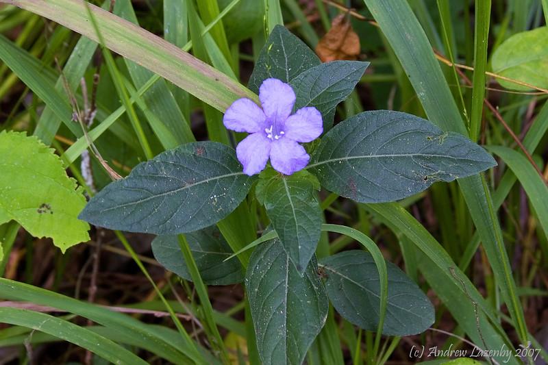 Rhuilia carolinensis.jpg