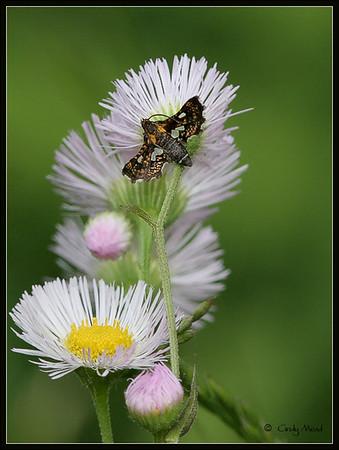Families Thyrididae & Pterophoridae