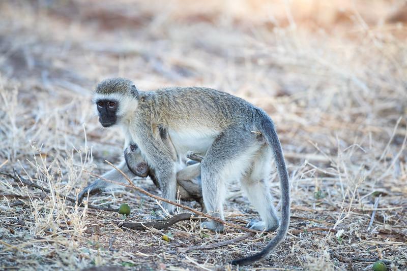 Vermer Monkey