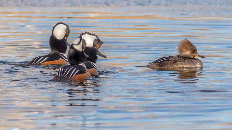 00 0045 Hooded Mergansers 0015c 16x9.jpg