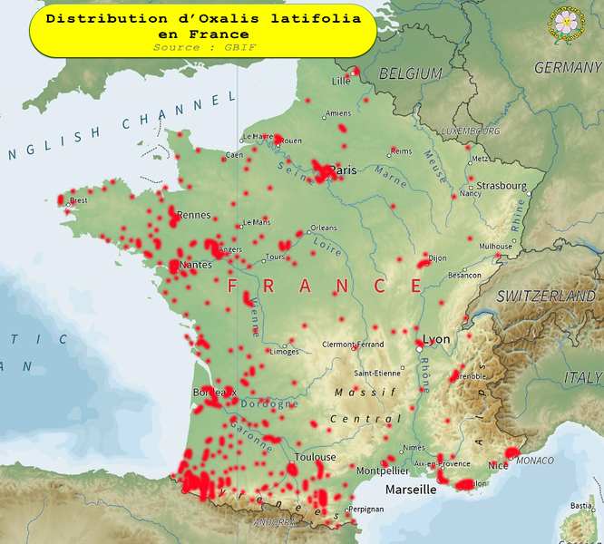 Oxalis latifolia France.jpg