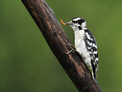 Woodpecker - Downy