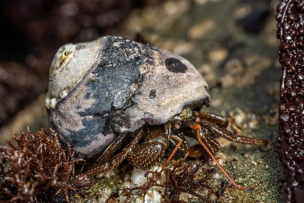 Pagurus granosimanus - Grainy hermit crab (USA)