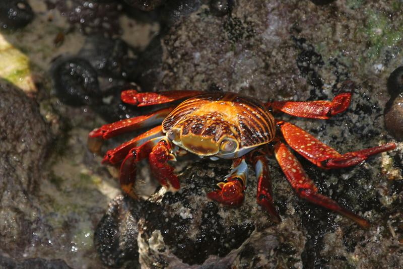 2007-02-20-0009-Galapagos with Hahns-Day 4, Floreana-Sally Lightfoot Crab.JPG