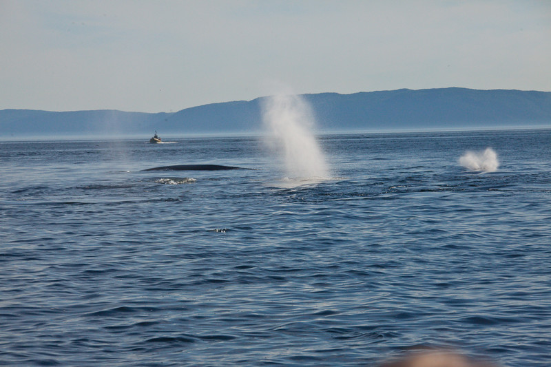 2011 quebec whale watching (35 of 80).jpg