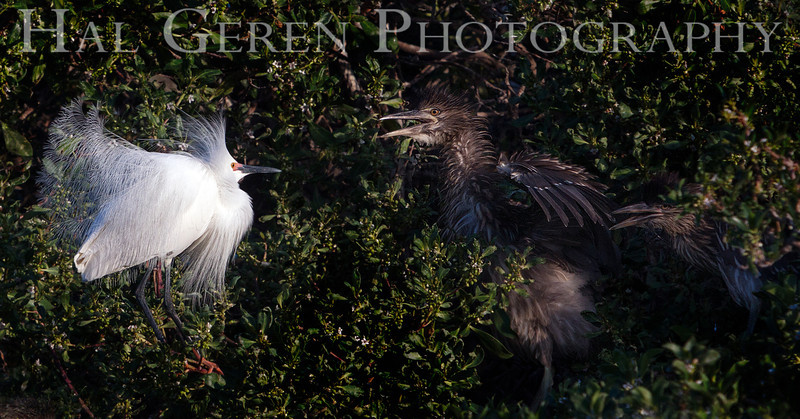 Snowy Egret male backs off two Black Crowned Night Heron Juveniles (scale is accurate!) Newark, California 1304N-SE20