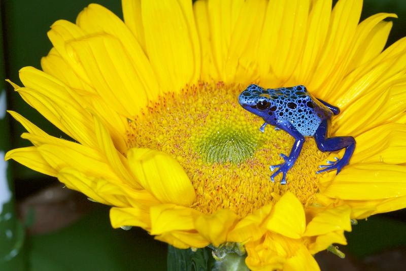 Blue Azureus Tinctorius Dart Frog