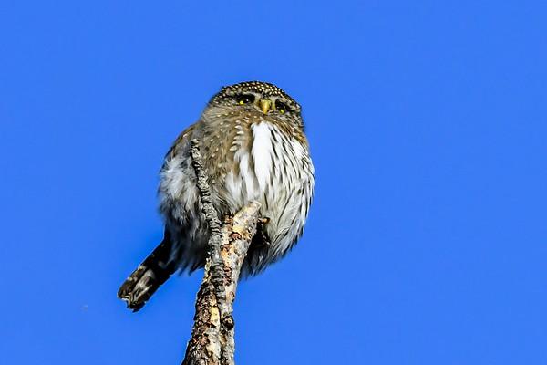 12-6-17 Northern Pygmy Owl