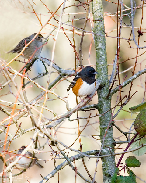 Spotted Towhee and friend.jpg