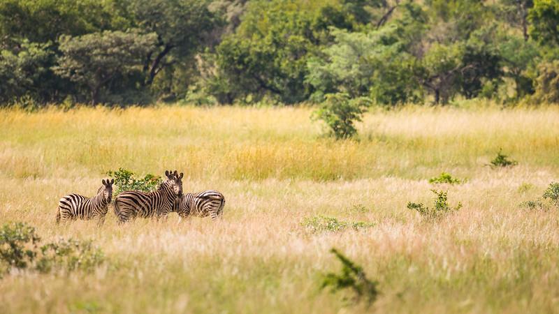 Zebra i Mabula Game Reserve, Limpopo, Sydafrika