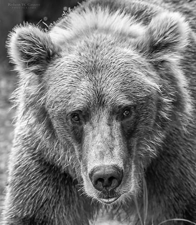 Brooks Falls Brown Bears or Bust