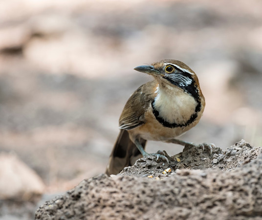 Greater necklacked laughingthrush