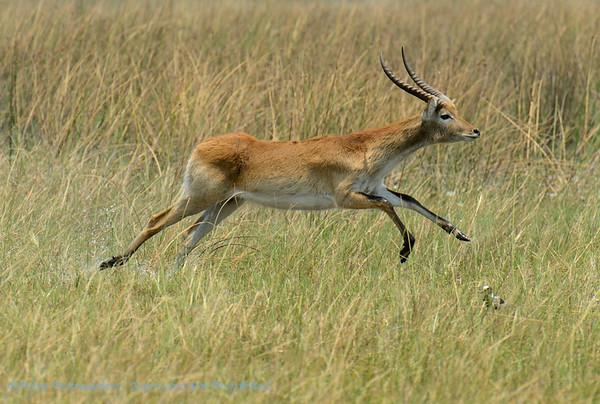 Lechwe; Botswana; Okavango; Kobus leche; Rooilechwe; Cobe de Lechwe; Litschiewaterbok; Letschwe