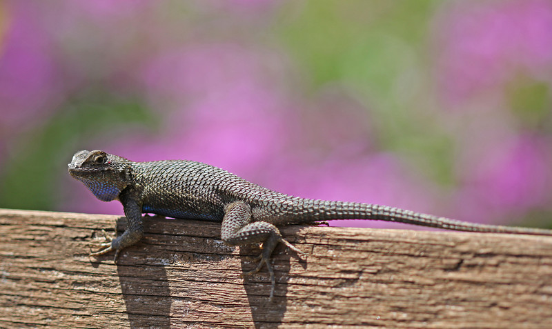 Backyard lizard