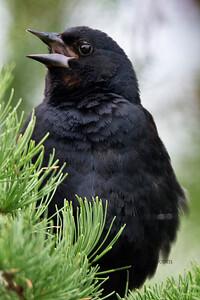 Red-Winged Blackbird_2019-07-16_5