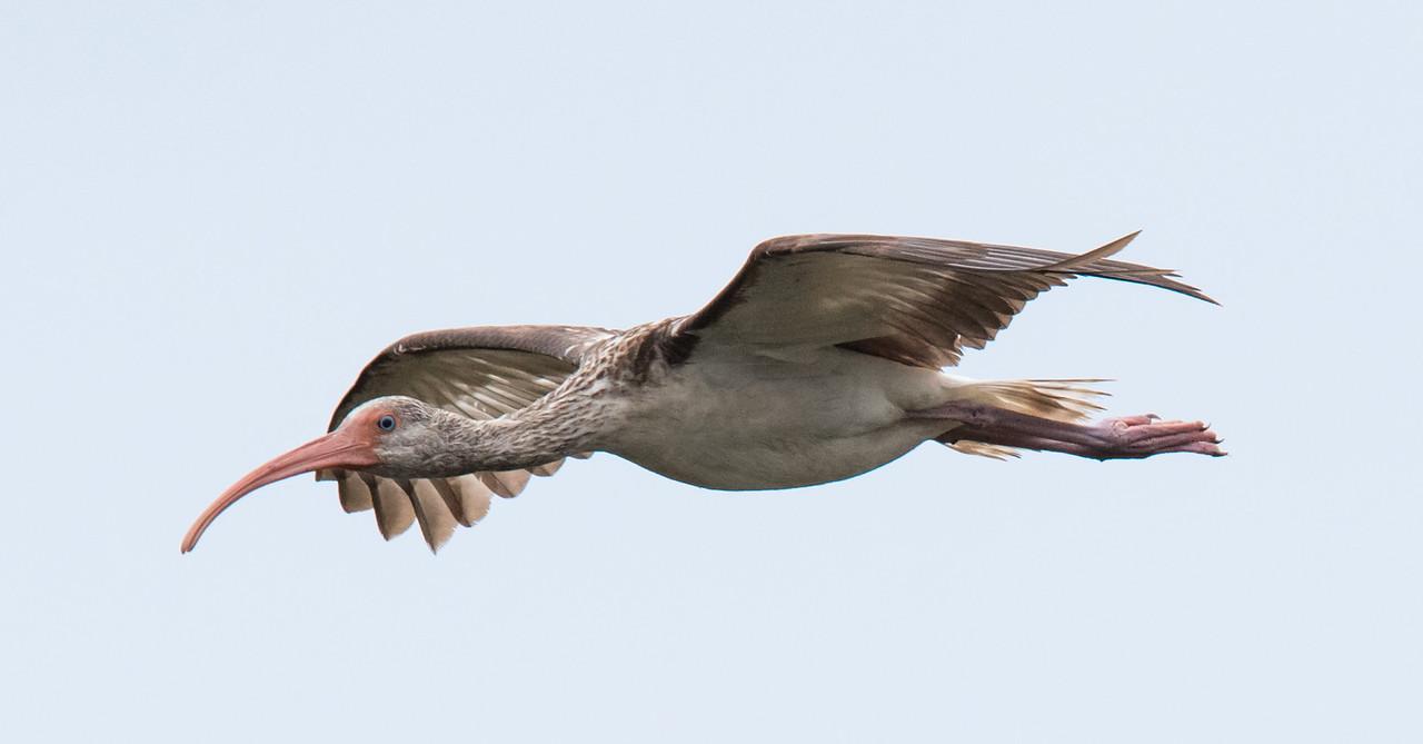 An immature Ibis in flight.