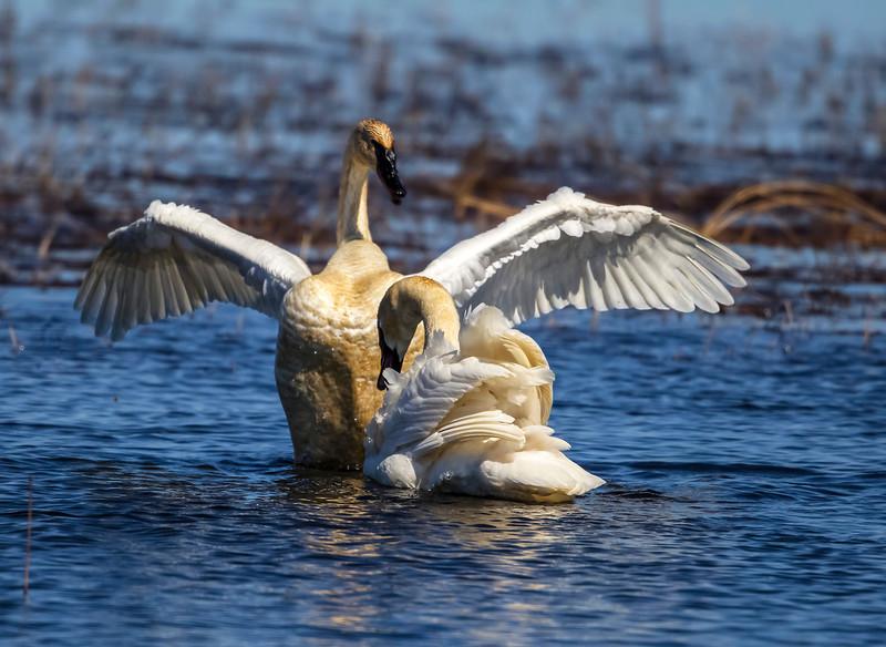 swan smug 12.jpg