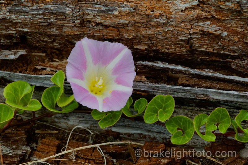 Beach Bindweed or Beach Morning-Glory - Convolvulus soldanella