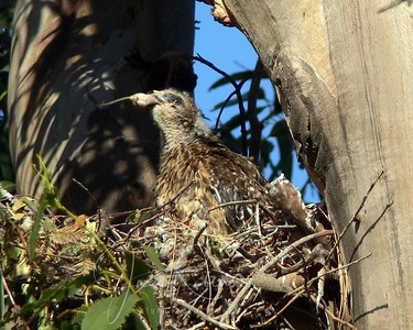 Red-shouldered Hawk Nest San Rafael June 2007