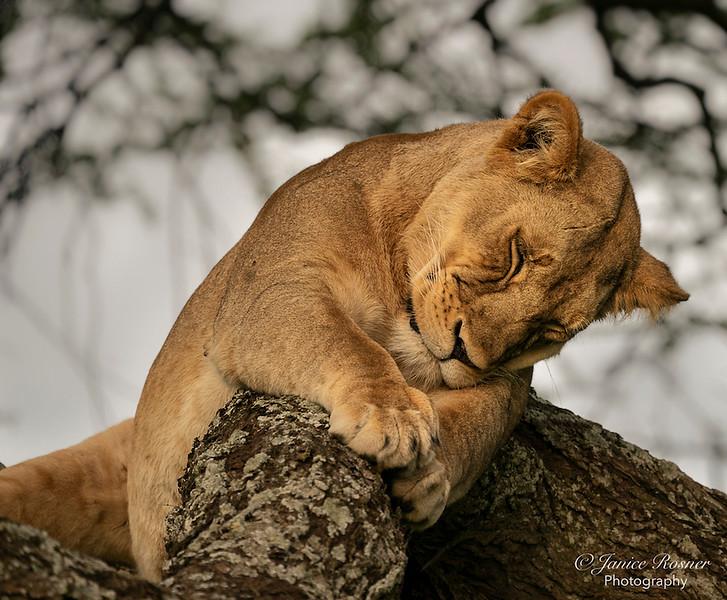 Sleepy Lioness 1