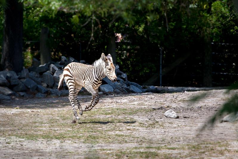 zebra baby-0351.jpg