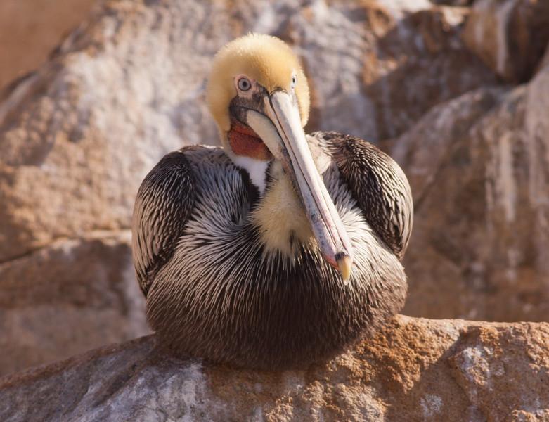 Brown Pelican Oceanside 2010 02 13-3.CR2