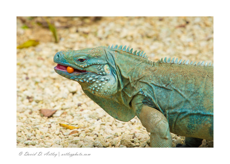 The endangered native  Blue Iguana, Queen Elizabeth II Botanic Park, Grand Cayman Island