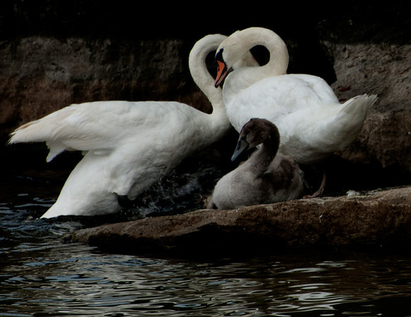 Swans and other fowl things