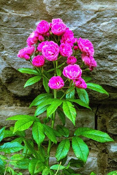 Ritter Park Rose Garden, WV, 009.jpg