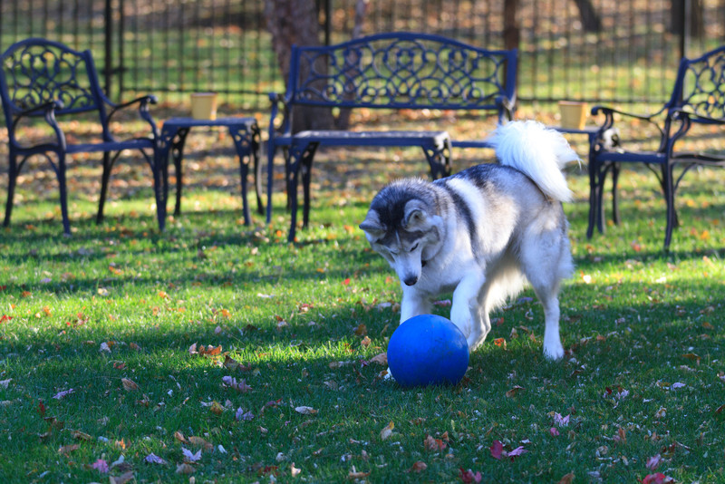 Blue playing with his Blue Ball