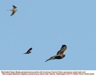 RedTailedHawk,AmericanKestrelM,Red-wingedBlackbirdM50614.jpg