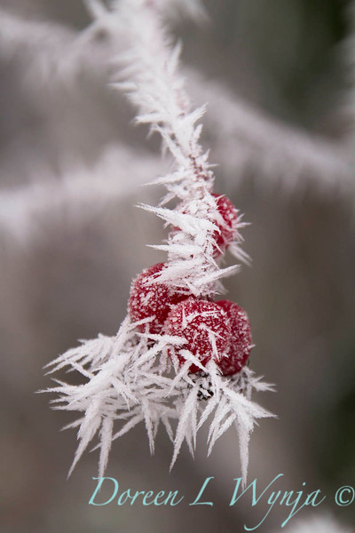 Winter frosted red rosehips_9482.jpg