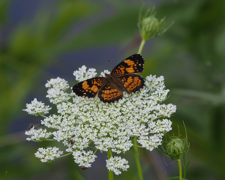 Silvery Checkerspot on Queen Anne's lace