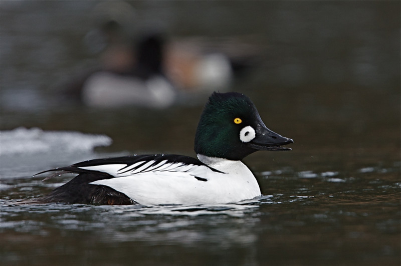 "I've never seen a Common Goldeneye quite like this one.    Notice the small dark spot inside the white cheek patch; quite a unique, ""one of a kind"" bird!"