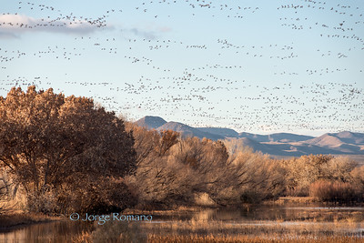bosque del apache, bosque, new mexico, wildlife, sanhill cranes, cranes, geese, snow geese, birds, national refuge, nature, winter, southwest, southern new mexico, wildlife refuge, protection, wildlife sanctuary, fauna, habitat, conservation, wilderness, wild, birdlife, wetlands, ponds, conservancy, bird sanctuary, ecosystems, habitat, rio grande