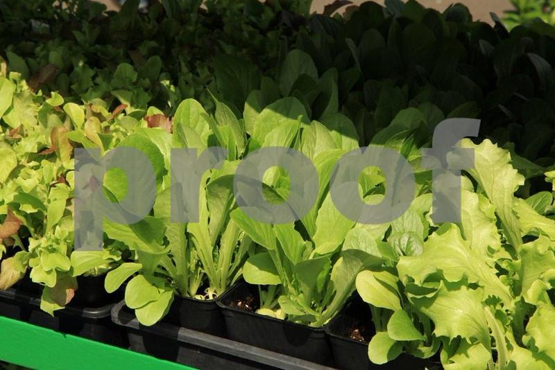 Lettuce starts 5910.jpg