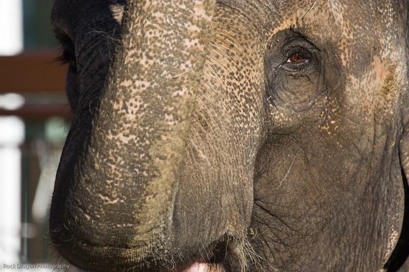 Elephant, Calgary Zoo, Dec. 6