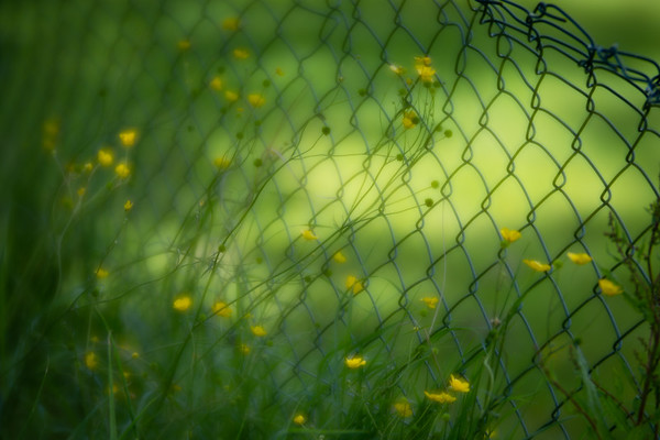 Buttercups on the fence