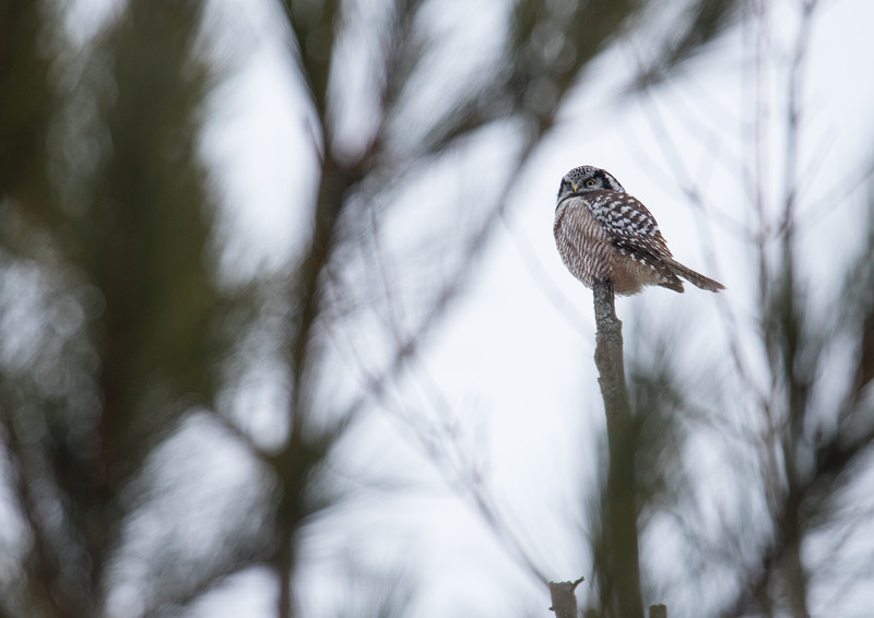 Hawk owl-9488.jpg