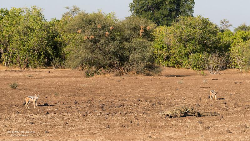 Black-backed Jackal & Nile Crocodile, Mashatu GR, Botwana, May 2017-6.jpg
