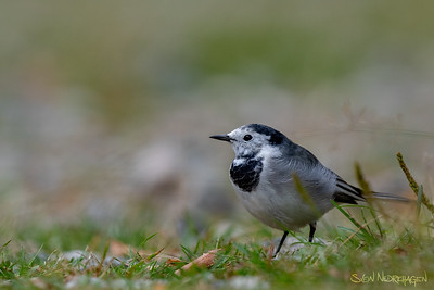 Linerle (White Wagtail)
