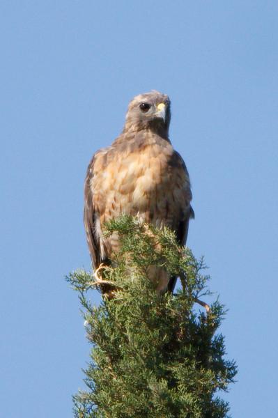Swainson's Hawk intermediate morph first summer at Firebaugh, CA (07-18-2009)