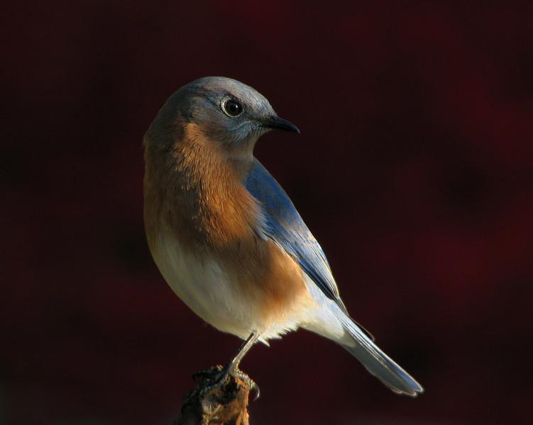 bluebird_4929.jpg