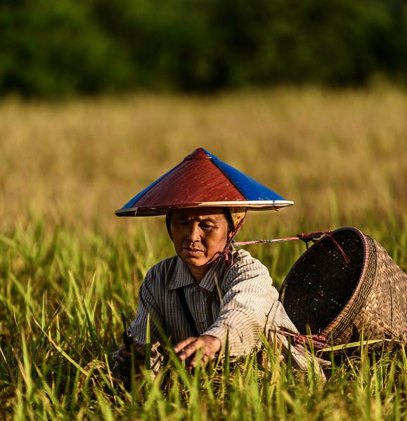 rice picker2.jpg
