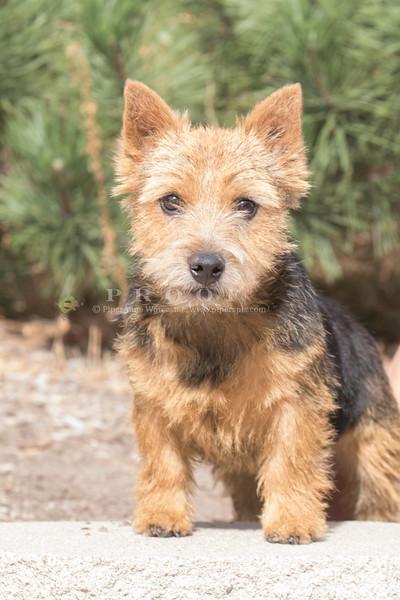 Norwich Terrier_PP