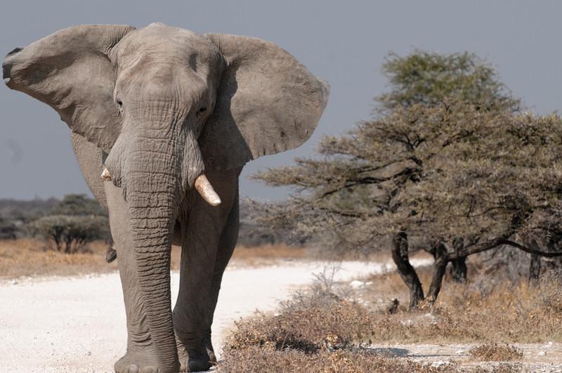 Dieser Elefant kam direkt auf unser Auto zu. Nur nicht nervös werden.
