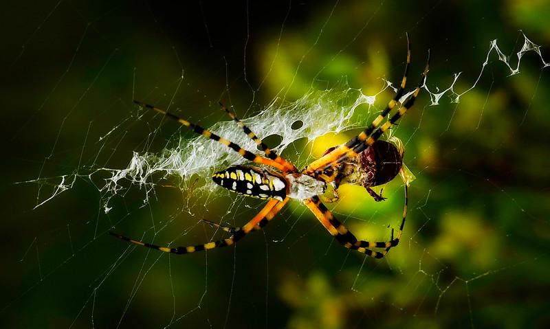 Spiders-Arachnids-158.jpg