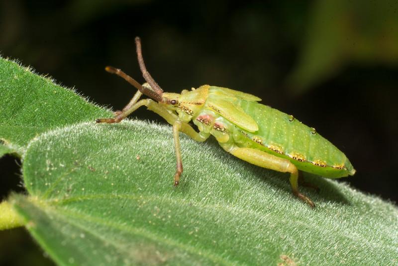 DX8525 Family Coreidae (Leaf-Footed Bug) nymph.jpg