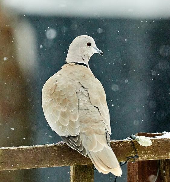 Day 60 - Garden Birds-4427.jpg