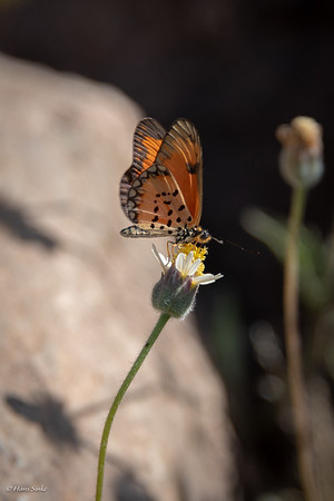 Acraea, Small Orange (spp. eponina)
